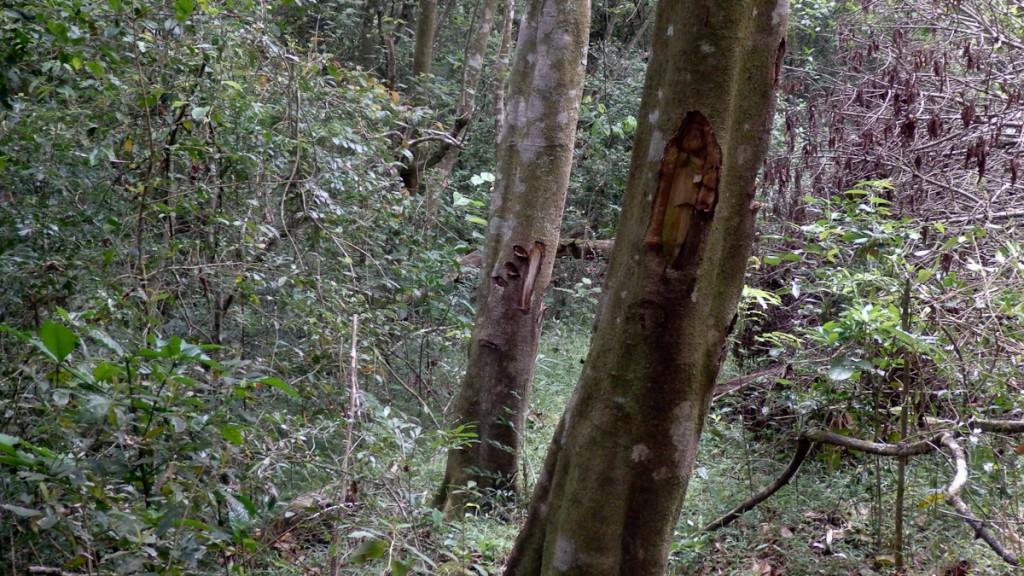 Sinalização da trilha Turaco feita a facão antes da decisão institucional de sinalizar a trilha de acordo com os mesmos padrões que os descritos nesse manual (Parque Nacional Nyanga, Zimbabue).